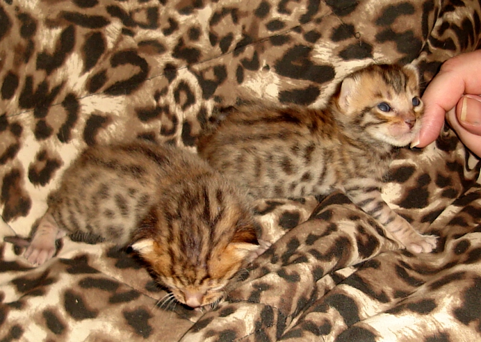White bengal kittens for sale in az