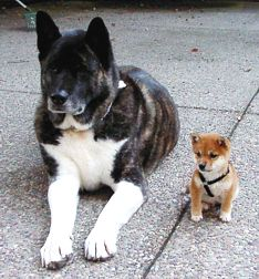 An Akita and a Shiba. They are both Japanese Spitz, the largest and the smallest.
