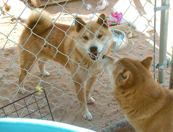 Adult male Shiba available for adoption