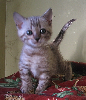 Bengal kittens for sale in Tucson, AZ