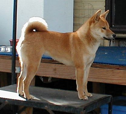 Dogs With Pointy Ears Breeds | Dog Breeds Picture