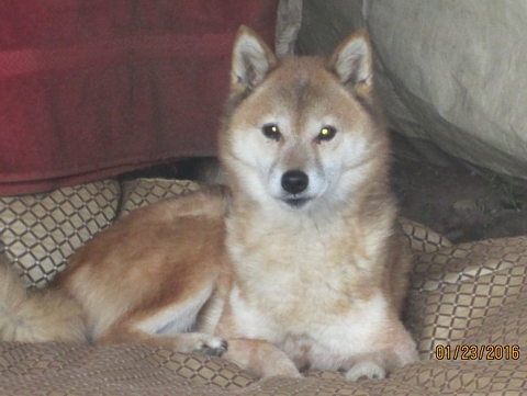 Shiba for adoption in San Diego